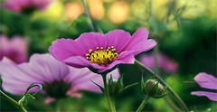Cosmos (Une femme ...) Tags: cosmos flower pistil bokeh rose pink