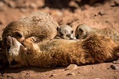 Familie.jpg (NoBudgetPhoto.de) Tags: erdmnnchen familie love animals tier zooneunkirchen zoo tiere animal