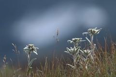 Edelweiss (Fredww) Tags: suisse switzerland valais bagne alps alpes flower edelweiss