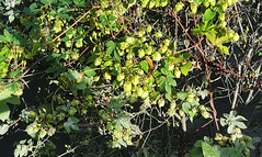 Hops (Barry C. Austin) Tags: richmondlock riverthames