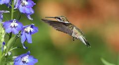 *** Colibri  gorge rubis / Ruby-throated hummingbird (ricketdi) Tags: bird cantley colibri colibriagorgerubis hummingbird rubythroatedhummingbird coth coth5 sunrays5 ngc npc