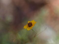 garden's last bloom (Kazooze) Tags: garden flower bloom one bokeh nature outdoor sigma105mmmacrolens macro