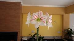Amarilys (J. Garcia Dias) Tags: amarilys flor flower planta branca white vermelha red gourmet casa house pakov verde green