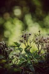 sottobosco (underbrush) (Angelo Petrozza) Tags: underbrush sottobosco basilicata lucania bokeh piante plants pentax 55300f458 lagopesole frusci
