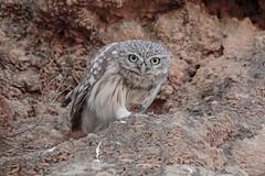 Little Owl (Dave 5533) Tags: owl littleowl bird birdofprey naturephotography wildlife canon7dmk2 sigmasport150600mm wild