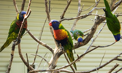Lorikeets (xomisskittyxo) Tags: zoo cleveland birds canon lorikeets aussie australia metroparks ohio photography branches