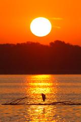 Great Egret at Sunrise (Mike Matney Photography) Tags: 2016 canon eos7d horseshoelake illinois midwest september bird birds sunrise water pontoonbeach unitedstates us