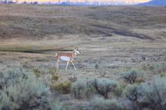 IMG_0021 (GOD WEISFLOK) Tags: montana wyoming usa yellowstonepark gordweisflock weisflock