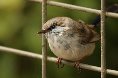 Juvenile Male Superb Fairy Wren (Janis May) Tags: locations oreillys smallbirds superbfairywren