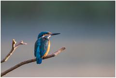 Common Kingfisher (female - juvenil) - IJsvogel (vrouw - juveniel) (Alcedo atthis) (Martha de Jong-Lantink) Tags: alcedoatthis commonkingfisher eisvogel ijsvogel ijsvogels martinpcheurdeurope vogel vogels juvenil juveniel 2016 wow female vrouw