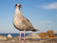Hungry bird (unukorno) Tags: bird hungry gull seagull balticsea sassnitz stones