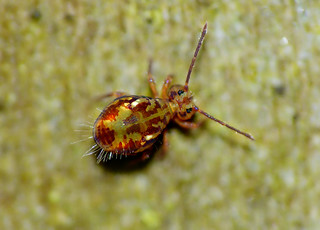 Dicyrtomina species/ Explore.