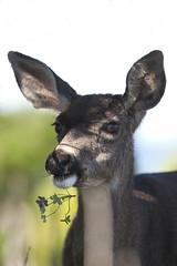 Deer 2 123112 (evimeyer) Tags: photography wildlife deer pacificgrove asilomar