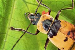 Chauliognathus (Techuser) Tags: red macro nature animal bug insect rainforest close small beetle parasites reverse carrion mata piedade atlantica mite besouro soligor2835