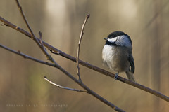 Blackcapped Chickadee (Shannon Leigh Photography) Tags: winter bird nature vancouver wildlife reserve chickadee sanctuary vancouverport shannonleighphotography