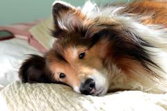 bravo 2/52 (courtney065) Tags: bravo cpc52 shetlandsheepdogs shelties 52weeksofphotography 52weeksthe2013edition animal dog pet