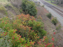 Railroad Tracks (Talley1144) Tags: red green tracks ebrp toyon christmasberry pointpinole