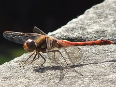 Blood Red Dragonfly, Princess of Wales Conservatory, Royal KEW Gardens @ 9 September 2012 (Kam Hong Leung – KEW Gardens_01) Tags: park wood blue autumn winter red summer orange fish plant flower tree green london nature ecology grass kew fauna scarlet garden season insect gold golden spring blood flora education waterlily purple blossom dragonfly wildlife royal conservation science bee lilac greenhouse stamen tropical mauve environment botanic bud pollen botany visitor wildflower horticulture glasshouse nymphaea palmhouse burgandy biodiversity kewgarden londonpark temperate stamina princessofwalesconservatory pollinator daviesalpinehouse waterlilyhouse kamhongleung leungkamhong beatriceleung sightsofsummer yourkew naturalneighbourhood tempratehouse friendsofkew kewonflickr