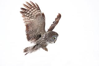 Incoming, - Great Gray Owl,  Ottawa, Canada
