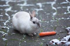 Coco Lapin (François Dorothé) Tags: rabbit bunny coco carrot lapin carotte françoisdorothé francoisdorothe