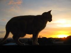 Bailey silhouette (SKR_Photography) Tags: blue boy sunset newzealand sky orange plants male yellow clouds cat dusk auckland bailey cameo downunder landofthelongwhitecloud 2013