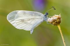 Rapsweiling (fotoman-jens) Tags: macro green canon butterfly sterreich wiese sigma 150 jens 5d grn makro 2012 schmetterling fotoman 150mm rapsweisling 5dmarkii 5dii 5dmii