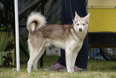 Max (Alexandra Kimbrough) Tags: show dog toy miniature husky pentax huskies stack event kai klee alaskan ukc conformation akk