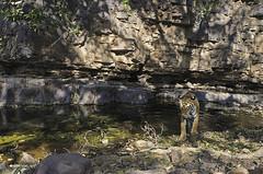 ADS_179 (dickysingh) Tags: wild cliff india color nature animal forest cat landscape scenery rocks wildlife tiger scenic wideangle bigcat jungle waterhole habitat rajasthan ranthambore ranthambhorenationalpark pantheratigristigris wwwranthambhorecom
