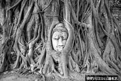 Thailand - Ayuthaya (luca marella) Tags: bw black tree film saint blackwhite asia head buddha voigtlander bessa religion roots pb sacre bn holy e thailandia bianco nero mistic analogic watphramahathat 1374 borom rachathirat