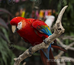 Parrot sitting on a branch (arnoenzerink.com) Tags: blue red color colour green bird colors yellow one colorful alone colours beak parrot aves sharp single only colourful copyspace macaw animalia ara captivity chordata arini psittacidae psittaciformes arinae psittacoidea