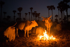 Cows by the fire: Senegal (samthe8th) Tags: africa travel photography nikon accepted1of100 suzanne senegal d800 travelphotography withsuzanne samgellman