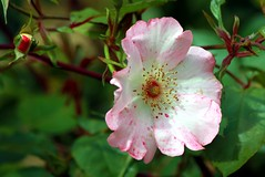 A rose by any other name (Heaven`s Gate (John)) Tags: pink england flower green nature rose gardens botanical birmingham day shakespeare william valentines 14th febuary quotation arosebyanyothername johndalkin heavensgatejohn
