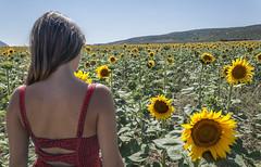 La chica que hablaba con los girasoles  // The lady who spoke with sunflowers (pasotraspaso. Jesus Solana Fine Art Photography) Tags: red woman lady de mujer rojo nikon sunflower campo girasol d80
