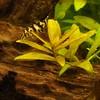 52/365 yo yo loach (werewegian) Tags: fish home aquarium pakistani yoyo day52 loach feb13 year13 botialohachata werewegian day52365 snaileater 3652013 365the2013edition 2013q1 21feb13