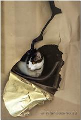 Gatito detrs de un cristal. (Pilar Lozano ) Tags: pilar gato papel cristal escaparate lozano