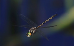 Tau Emerald :  Autumn . . . (Clement Tang ** Busy **) Tags: autumn nature insect inflight dragonfly bokeh wildlife australia victoria hovering nationalgeographic insecta closetonature specinsect concordians tauemerald hemicorduliatau hemicorduliidae candlebarkpark