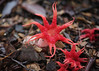 Starfish Fungi (Greg Miles) Tags: australia nsw stinkhorn northhaven aseroerubra starfishfungus anemonefungus seaanemonefungus