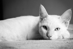Yuki. (Rafael L. Pereira) Tags: blackandwhite white black animals cat canon pb 55mm gato bp whitecat t3i gatobranco