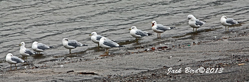 Ring-billed Gulls By Jack Bird