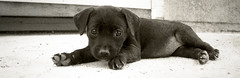Josephina the 6 week old Black Lab mix from Mexico (Immature Animals) Tags: arizona blackandwhite rescue dog baby white black cute animal horizontal puppy photo lab long tucson az pima pup paws josephina tucsonarizona koalition pacc barktucson backpacc