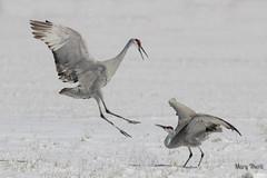 The Snow Dance (metherit) Tags: winter wild bird festival canon colorado crane coloradosprings vista monte migration sandhill 2013 metherit allofnatureswildlifelevel1