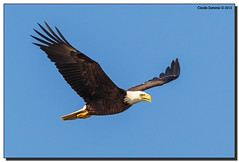 Any Day You See A Bald Eagle... (Fraggle Red) Tags: bird bay inflight eagle florida wildlife baldeagle preserve haliaeetusleucocephalus flyby fortmyers fortmyersbeach bunchebeach sancarlosbay leeco canonef100400mmf4556lisusm bunchebeachpreserve canoneos5dmarkiii 5d3 5diii