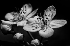 B&W bloom (anzere03) Tags: