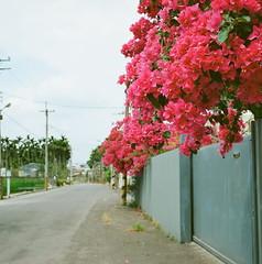Bougainvillea (Rieko Baba) Tags: trip flowers taiwan bougainvillea fujifilm filmcamera gf670