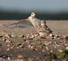 Duel (v4vodka) Tags: bird nature animal wildlife birding longisland birdwatching plover pipingplover charadriusmelodus westmeadowbeach pipingploverchick sieweczka siewka