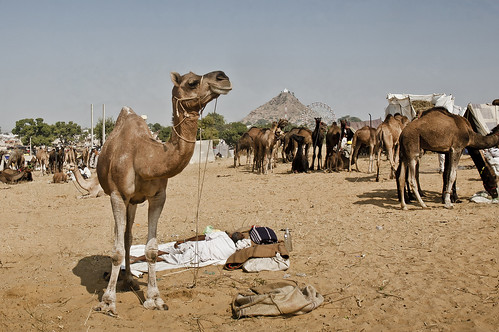 At Pushkar, There is Always some time to sleep in the hot mid day sun.