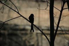 Black Drongo Silhouette (Ziaus Shams) Tags: black bird silhouette asia king pentax wildlife telephoto crow bangladesh drongo blackdrongo pakhi finge