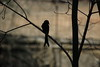 Black Drongo Silhouette (Ziaus Shams) Tags: black bird silhouette asia king pentax wildlife telephoto crow bangladesh drongo blackdrongo pakhi finge
