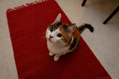 Day 366/366 (Explodingfish) Tags: red cat finland carpet sitting floor mat jyvskyl canonef1635mmf28liiusm centralfinland 366project canon5dmarkiii jyvskylsubregion