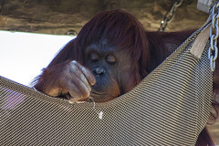 watching the string (psyberartist) Tags: portrait animals tampa zoo florida orangutan monkeys apes primates lowryparkzoo